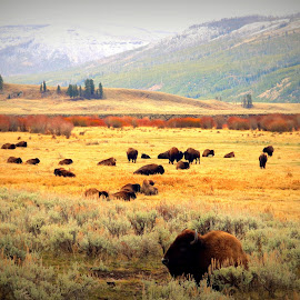 by Karie Nolte - Landscapes Prairies, Meadows & Fields ( buffalo, mountains, peaceful, bison, yellowstone national park, fall, meadow, wildlife, grey, gold, landscape )