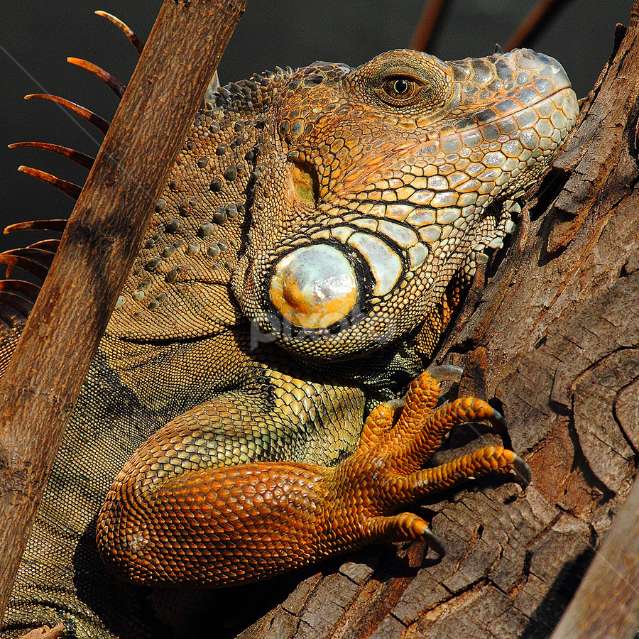 Iguane by Gérard CHATENET - Animals Reptiles (  )