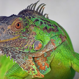 Iguana by AbngFaisal Ami - Animals Reptiles