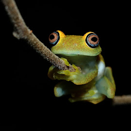 Boophis viridis.From Madagascar (Andasibe) by Serge Pasquasy - Animals Amphibians