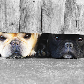 Peeking through the Fence by Mallory Walsh-Ruggiero - Animals - Dogs Portraits