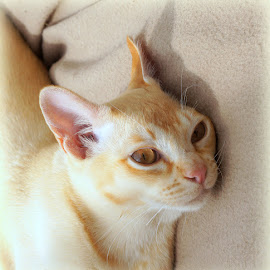 Tom by Caroline Beaumont - Animals - Cats Portraits ( cat, red, ears, burmese, eyes )