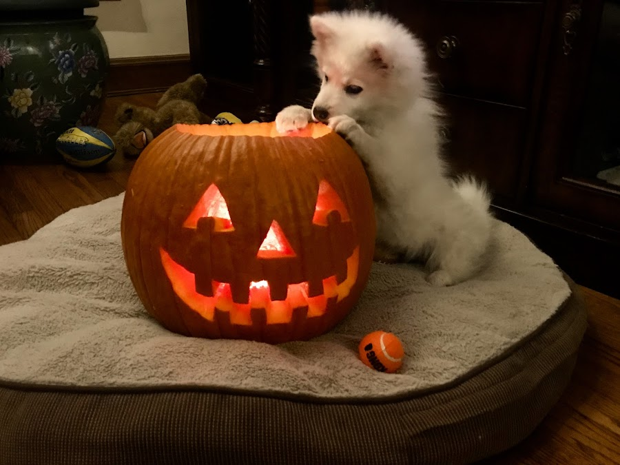 Mona's Pumpkin by Louis Perlia - Animals - Dogs Puppies ( white fluffy american eskimo, puppies, dogs, mona lisa, pets, pumpoin, cute, halloween )