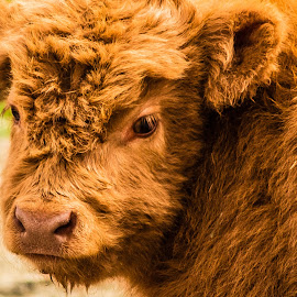 Scottish Highland Calf by Julie Wooden - Animals Other ( domesticated, scottish highland cow, red, north dakota, nature, bismarck, calf, outdoors, farm animal, scenery, spring, animal )