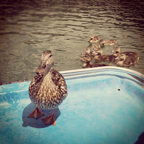Mama duck joined us for a paddle boat ride. by Debi Tipton - Instagram & Mobile Instagram