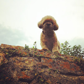 Vineyard Guard Dog!  by Sue Boxell - Animals - Dogs Portraits ( doggie, dogs, doggy, dog portrait, puppy, dog )