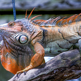 Colorful Iguana by Lye Danny - Animals Reptiles