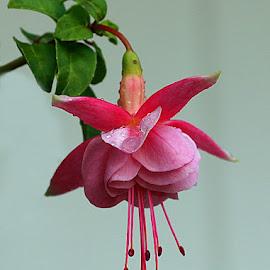 Fuchsia in the Rain by Chrissie Barrow - Flowers Single Flower ( water, stigma, single, stamens, petals, green, leaves, fuchsia, drops, basket, pink, wet, garden, flower, rain )