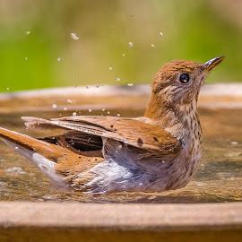 Swainson Thrush by Dave Lipchen - Animals Birds ( swainson thrush )