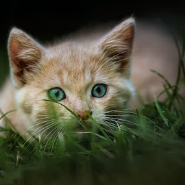 young hunter by BO LED - Animals - Cats Kittens ( kitten, cat, nature, color, closeup, portrait, animal )