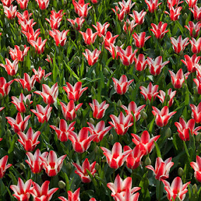 Tulips by Sigitas Baltramaitis - Nature Up Close Flowers - 2011-2013 ( red, nature, tulip, flower )