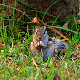 Ground Squirrel by Kamal Mallick - Animals Other Mammals