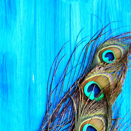 Peacock Feather on blue background. by Dipali S - Artistic Objects Other Objects ( decorative, bright, colorful, vivid, wildlife, beauty, vibrant, space, feather, exotic, macro, nature, animal, eye, copy, isolated, green, texture, beautiful, male, white, feathers, close-up, bird, wooden, turquoise, pattern, blue, elegant, background, artistic, peacock, design )