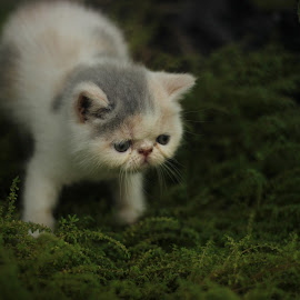baby exotic  by Dedy Murtiawan - Animals - Cats Kittens ( playing, kitten, cat, baby, exotic )