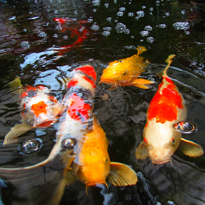 Koi fish video wallpaper 3d android apps on google play for Koi fish family