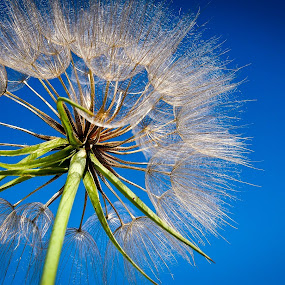 deceitful by Felbert Edrada - Nature Up Close Flowers - 2011-2013 ( dandelion )
