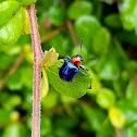 Blue milkweed beetle