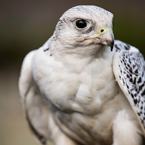 White Gyrfalcon by Josh Hilton - Animals Birds ( predator, england, uk, bird of prey, white gyrfalcon, horns, falcon, wildlife, lowther, united kingdom, lake district, britain )