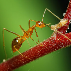 Red Ants by Rakhman Matsunaga Stavolt - Animals Insects & Spiders