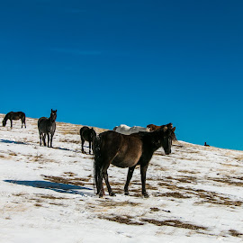 Wild horses by DC Photos - Novices Only Wildlife ( wild, winter, mountain, horses, nature, snow, bulgaria )