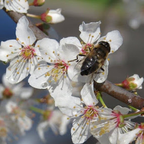 busy bee by Karen Noble - Flowers Tree Blossoms (  )