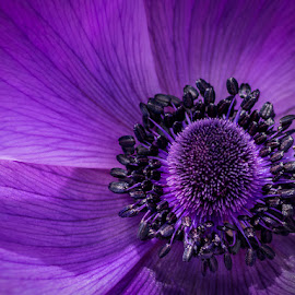Purple splash by Jose Rojas - Flowers Single Flower ( purple macro, macro art photography, nature, flower art, flora, macro photography, flower head, nature up close, purple nature, flower close up )