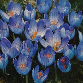 Very blue by Terry Linton - Flowers Flower Arangements (  )