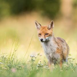 Fox by Stanley P. - Animals Other Mammals ( mammals, animals )
