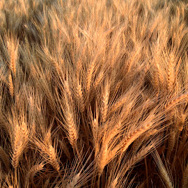 Wheat. by Denton Thaves - Nature Up Close Gardens & Produce ( agriculture )