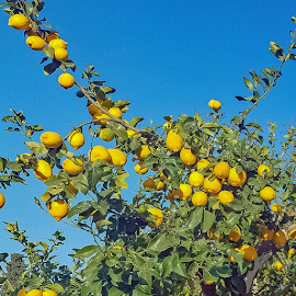 by Ioannis Alexander - Food & Drink Fruits & Vegetables ( lemons,  )