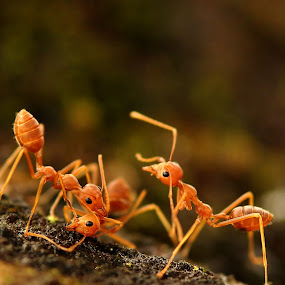 Ant by Kenang Lahar Jingga - Animals Insects & Spiders ( macro, ant )