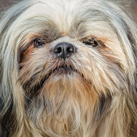 Lhasa Apsa by Dave Lipchen - Animals - Dogs Portraits ( lhasa apsa )