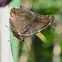 Dashwing or Tailed Cecropian