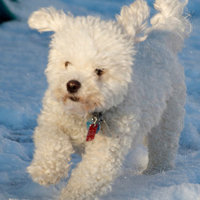 I love the snow by Mark Lendacky - Animals - Dogs Running ( winter, snow, white, dog, running )