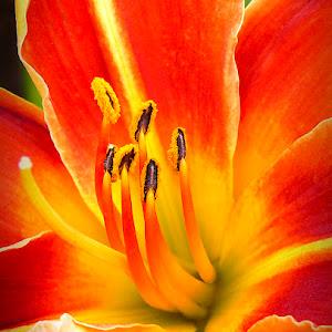 lily-stamensP1020286-900px.jpg