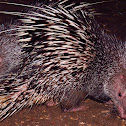 Sunda Porcupine