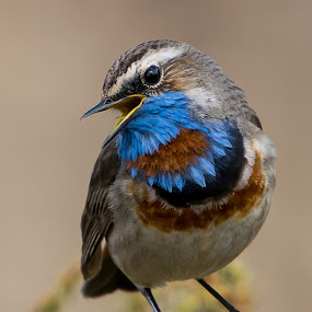 Bluethroat by Hans Olav Beck - Animals Birds