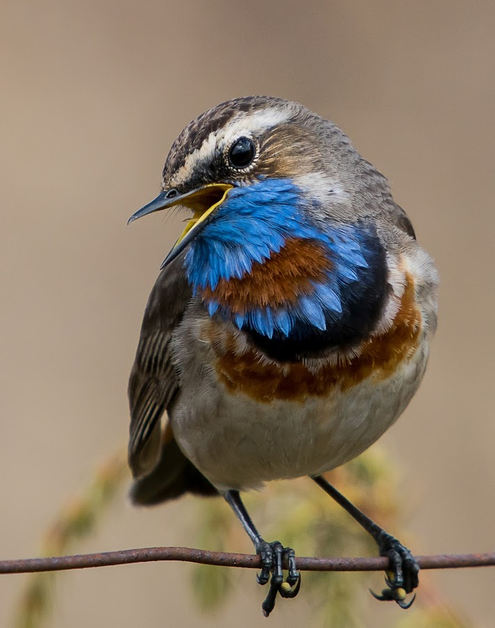 Bluethroat by Hans Olav Beck - Animals Birds