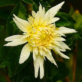 Dalhia blanc jaunatre by Gérard CHATENET - Flowers Flowers in the Wild