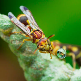 Wasp 160726A by Carrot Lim - Animals Insects & Spiders ( reflection, macro, wasp, waterdroplet, colours )