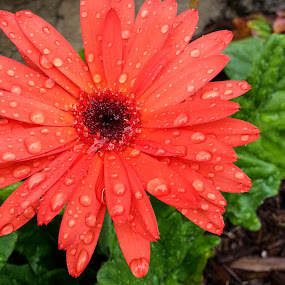 Color in the Rain by Sandy Hogan - Flowers Single Flower ( flower_raindrops, rainy day, single flower, rainy day flowers, raindrops, flowers, flower,  )