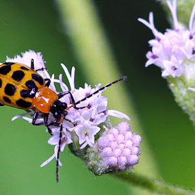 Cucumber Beetle  by William Lallemand - Nature Up Close Flowers - 2011-2013 ( orange, black.red, green, white )