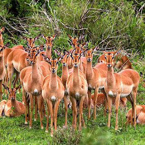 Herd of impalas by Gérard CHATENET - Animals Other Mammals (  )