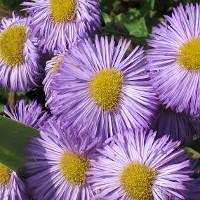 Mardi Gras Flowers by Viive Selg - Flowers Flower Gardens (  )