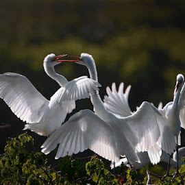 Great Egret by William Wu - Uncategorized All Uncategorized