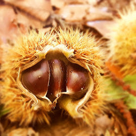 3 in 1 by Megi Šajn - Nature Up Close Other Natural Objects ( foliage, spines, autumn, chestnut, three )