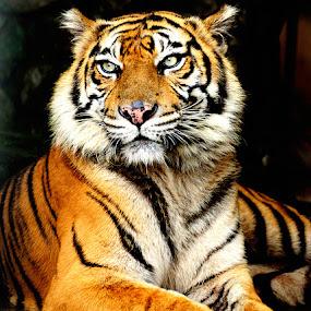 Sumatra's Tiger by Martin Marthadinata - Animals Lions, Tigers & Big Cats