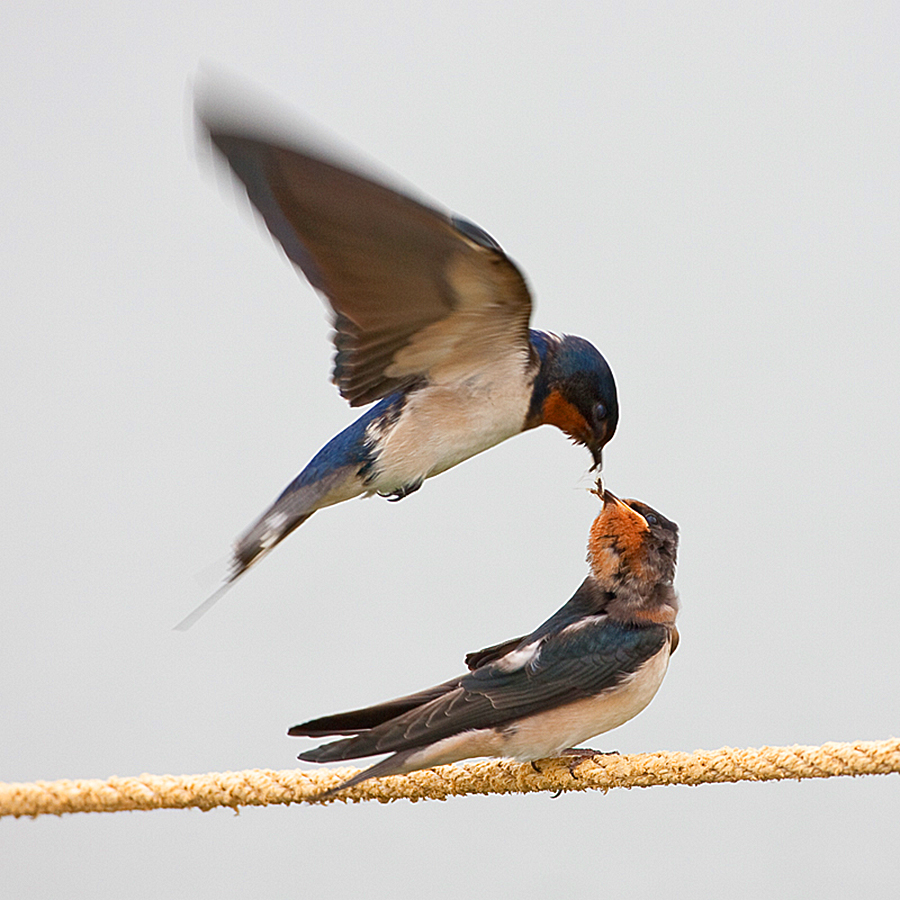 Barn Swallows by Howard Sheard - Animals Birds