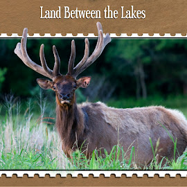 Elk post card design for Land Between the Lakes by Steven Faucette - Typography Captioned Photos ( tennessee, elk, land between the lakes, kentucky )