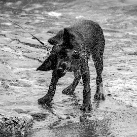 Shake It Off by Richard Brown - Animals - Dogs Puppies ( water, scotland, puppies, animals, black and white, street, pets, puppy, black and white photography, antruther, black lab, street photography )